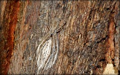 Fickert's Two-tailed Bark Spider (dustaway) Tags: nature spider bark camouflage trunk eggsac australianwildlife myrtaceae austral