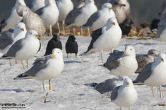 6L3C (The Gull Explorer) Tags: snow nature birds gulls larusargentatus landfill kaunas herringgull lik laps yellowplasticband 6l3c ringeuropelarusargentatus y6l3c