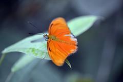 Oranje pa