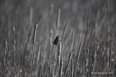 Song Sparrow on Bulrush (pandatub) Tags: bird birds sparrow coyotehills ebparks ebparksok