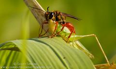 Digger Wasp with Meadow Katydid (sjsimmons68) Tags: animals favorites fav beeorwasp merrittislandnationalwildliferefuge insectsandspiders brevardco fllocations sphexjamaicensis diggerwaspjamaicensis