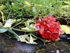 After the storm (Gormur) Tags: red flower redflower rautt blóm rauttblóm