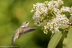 If it's good enough for the Monarchs… (rdroniuk) Tags: birds hummingbird birdsinflight oiseaux smallbirds colibri rubythroatedhummingbird archilochuscolubris passerines hummingbirdflight passereaux hummingbirdmale colibriàgorgerubis heptacodium hummingbirdatflower