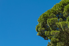 Pine wallpaper - MacBook Pro Retina display (Tiziano Caviglia) Tags: tree pine liguria wallpapers albero pino maritimepine pinomarittimo bergeggi pcwallpaper rivieradellepalme macwallpaper