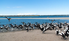 He is Back Again! (Jocey K) Tags: sea sky pelicans water birds clouds flying sand labrador australia queensland land goldcoast