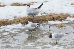 E-M (The Gull Explorer) Tags: snow ice nature birds spring gulls wem em landfill nla chroicocephalusridibundus zabielikis whiteplasticband ringeuropelarusridibundus ringeuropechroicocephalusridibundos