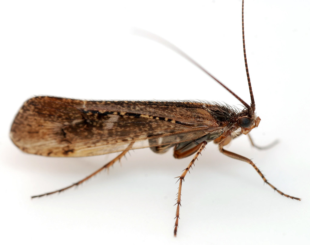 the trichoptera Background aquatic insects and other freshwater animals are some of the most  threatened forms of life on earth caddisflies (trichoptera) are.