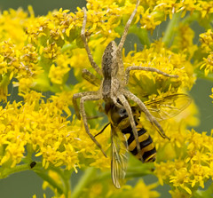 9537JSTa (preacher43) Tags: park macro nature spider fly web nursery johnson goldenrod insects il trail tall sauk hover henrycounty