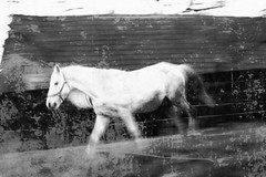 A lomo dream about an unicorn (Cristian Ştefănescu) Tags: horse white lomo cal romania alb transylvania unicorn weiss pferd transilvania erdely ardeal siebenbuergen probstdorf inorog stejareni prostea littledoglaughednoiretblancet