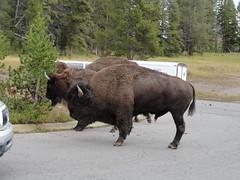 Hanging around the parking lot (yellowroseoftexasmindy) Tags: fun buffalo parks canyon national yellowstone bison