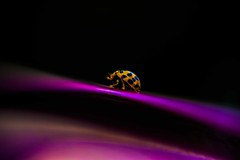 A Little Lucky Charm (AngelBeil) Tags: macro insects ladybug