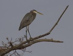 Great Blue Heron (AllHarts) Tags: greatblueheron mallardlake biglakewma manilaar naturescarousel ngc npc