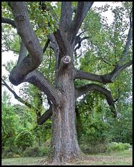 Huge Old Tree (R. J. Hannapple) Tags: smorgasbord hugetree