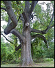 Huge Old Tree (R. J. Hannapple) Tags: smorgasbord hugetree