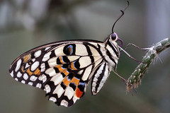 Show-off (Wim van Bezouw) Tags: butterfly insect nature macro outdoor sony ilce7m2 a7m2