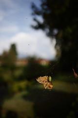 Untitled (/KENTAMA) Tags: autumn insect spider spiderweb cobweb eos6d ef35mmf2 nature bokeh        moth   life death