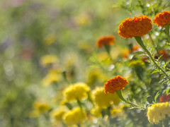 Royaume enchant -* (Titole) Tags: orange yellow titole nicolefaton tagte rosedinde many bokeh sunny thechallengefactory