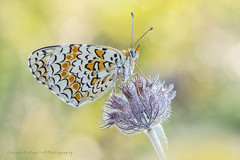 Melitaea (Samuele81) Tags: macro macrofotografia melitaea farfalla fotografia fotografianaturalistica foto farfalle flight freedom butterfly natura nature ngc nikon ncg tamron 90mm