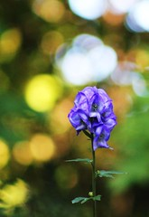 Blue rocket (ekaterina alexander) Tags: blue rocket aconite flower aconitum monkshood ekaterina england alexander sussex autumn flowers nature photography pictures garden gardens