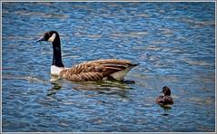 I wish I was a Goose !!! (ro-co) Tags: fz200 panasonic wildfowl wildlife water carsingtonwater geese ducks