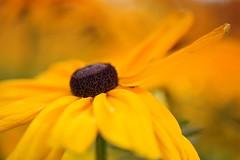 Yellow Flower (Edmonton Ken) Tags: yellow brown orange flower petal composite
