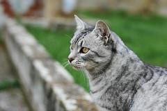 Isis  (Slya Cabret) Tags: cat gato kitty gatita cute adorable beautiful animal felino miau meow wild nature