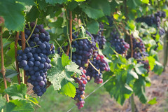 Blue Grapes (Notquiteahuman1) Tags: wine grapes nature cultivated blue purple green red autumn fruit clusters plant home dslr nikond610 nikkor2885mm13545af vine vitisvinifera raisins juice weinstadt weintrauben weinberg natur blauetrauben trauben deutschland germany uvas alemanha videira rebe