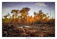 Brlis (Laurent Asselin) Tags: brlis feu orange fort bois incendie flammes couleurs paysage guyane
