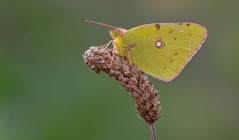 Clouded Yellow (Colias croceus). (Bob Eade) Tags: cloudedyellow butterflies butterfly yellow autumn newhaven nikon nature wildlife macro micro lepidoptera eastsussex sussex