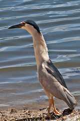 What the neck (RicoLeffanta) Tags: neck bird heron black crown blackcrowned night nycticorax nycticoras threatened species hawaii hawaiian waikiki ocean sea seaside beach rico leffanta