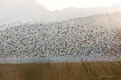 Sterling_flock (JKonradsen Photography) Tags: salbufera mallorca alcudia muro albufera bird birds birdphotography nature naturephotography jkonradsen flock migration