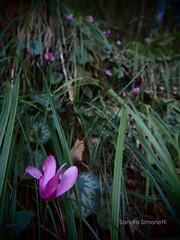 Ciclaminando (sandra_simonetti88) Tags: ciclamino ciclamini prato meadow bosco wood forest fiore fioreselvatico valcamonica vallecamonica fucsia petali flower natura fioritura blooming