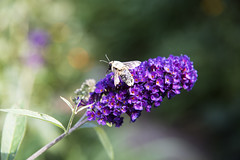 Loading Up D7C_0107 (iloleo) Tags: bee nature butterflybush bokeh colourful d750 pollen garden toronto flower