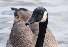 Canada Goose (careth@2012) Tags: goose canadagoose wildlife waterfowl beak feathers portrait