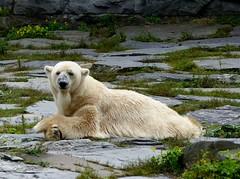 RIP AIKA the world's oldest polar bear is dead (BrigitteE1) Tags: ripaika theworld´soldestpolarbearaikaisdead aika eisbär polarbear ursusmaritimus dieältesteeisbärinderweltaikaisttot tierparkberlin specanimal deutschland germany bär bear säugetier mammal alt old sad traurig tribute erinnerung memory remembrance image inmenschlicherobhut relaxed legscrossed