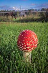 Fly agaric (vilomaki) Tags: mushroom summer flyagaric krpssieni kes makro macro closeup dof horse lawn grass nature