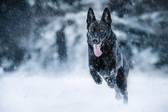 let it snow! (DigitalBite) Tags: dog animal pet k9 gsd black blackgsd germanshepherddog snow winter