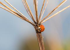 late ladybird (Emma Varley) Tags: ladybird cowparsley sun autumn insect nature bluesky sunshine