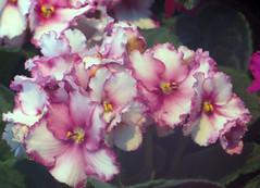 1-IMG_1474 (hemingwayfoto) Tags: berggarten berggartenhannover blhen blte blume floristik macro namensschild natur topfpflanze usambara usambaraausstellung veilchen vorauswahlfrkalender zierpflanze zuchtform