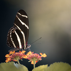 Light of the Autumn Zebra Longwing (Charles Opper) Tags: autumn butterflydaysii canon canon6d canon70200mm fall georgia heliconiuscharithonia lantana zebralongwing bokeh butterfly color edgelight flower insect light nature square warm