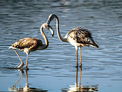Flamencos (ibzsierra) Tags: ibiza eivissa baleares canon 7d 100400isusm flamenco flamingo ave bird oiseau salinas parque natural