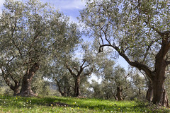 olive trees in liguria (Brother's Art) Tags: tree olive olives italy liguria food oil nature net green harvest ligurian taggiasca vegetable plant fruit autumn branch cooking mediterranean condiment virgin italia extra trunk oliv natural imperia dolcedo