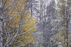 end of autumn ? (sami kuosmanen) Tags: suomi snow syksy autumn yellow kuusankoski kouvola keltainen taivas tree talvi winter finland forest trees koivu birch paju leaf luonto lehti nature north europe snowing sade lumi