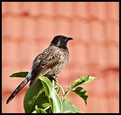 Baby Bulbul : Mumbai City Bird (indianature13) Tags: bulbul redventedbulbul babybulbul nature bird wildlife indianature mumbai india october 2016 citybird