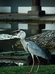5:49 PM Grey Heron Swallowing a Fish (Robert-Ang) Tags: greyheron heron swallowingfish japanesegarden singapore nature wildlife bird animal