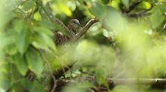 Spotted Turtle Dove (Edwinna Bartley) Tags: australianbirds backyardbirds sydney nsw spottedneckedturtledove