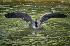 aidez moi je suis coincé (rondoudou87) Tags: oiseau bird parc zoo reynou nature natur wild wildlife water eau pentax k1