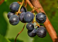rafz_07_27102016_14'48 (eduard43) Tags: natur nature naturprodukte naturalproducts 2016 trauben grapes