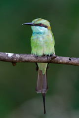Green Bee-Eater (Simon Stobart) Tags: green bee eater perched branch tree