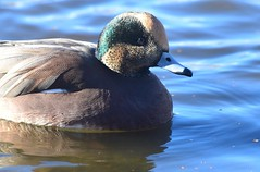 American Wigeon (careth@2012) Tags: duck nature wildlife bird beak feathers americanwigeon